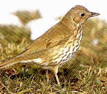vögel zugvögel teilzieher und standvögel